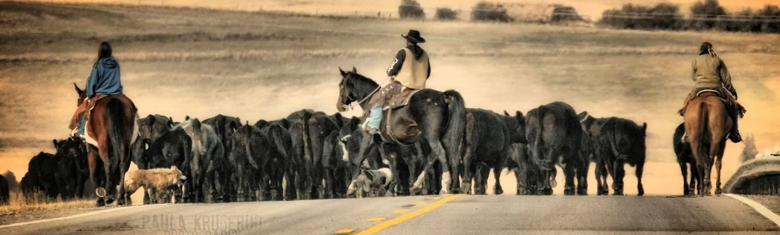 Photo of cowboys herding cattle down a roadway,