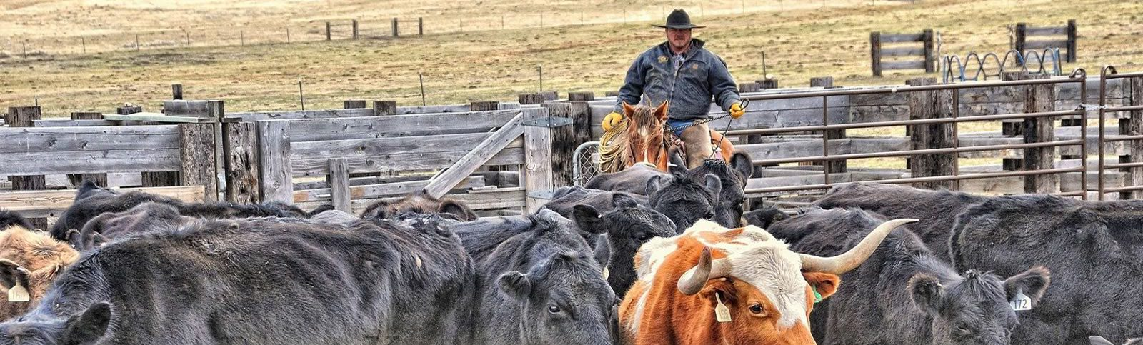 Photo of a cowboy herding cattle in a corral.