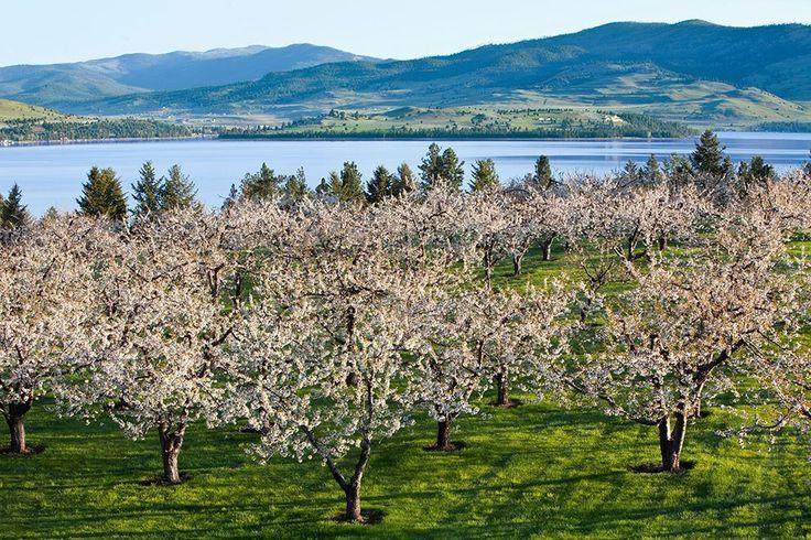 Photo of Flathead Cherry orchard